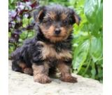 Kc Registered Yorkshire Terrier Available