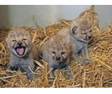 cheetah cubs , servals & F1 savannah kittens available.