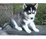 Affectionate Siberian Husky puppies for a loving home