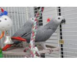 Talking African Greys for Adoption