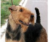 Airedale Terrier AVAILABLE FOR STUD