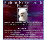 Bichon Frise female for sale