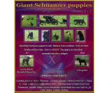 Great Black Schnauzer puppies for sale