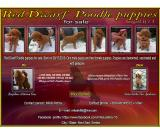 Red Dwarf Poodle puppies