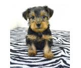 Beautiful Teacup Yorkie puppies Available