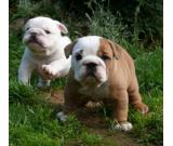 Cute English Bulldog puppies for Adoption