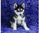 Well Trained Siberian Husky Pups for Adoption