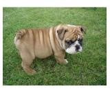 ENGLISH BULLDOG PUPPY FREE