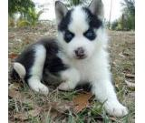vaccinated blue eyes  siberian husky puppies for adoption