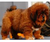 Chinese Tibetan Mastiff Puppies For Sale