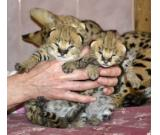 Tamed Serval and Caracal kittens for sale