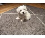 Gift Bichon Maltese Puppies for Adoption