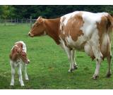 Dairy cows, dairy goats and dairy sheep for sale