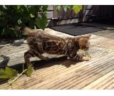 Ready Now Silver Kittentica Registered Bengal Girl