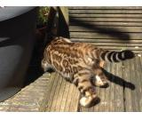 Bengals Marble Rossetted Rare Tica Registered Mink