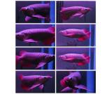 Super red arowana, Asian red arowana,24K golden arowana and chili Red Arowana fish for sale