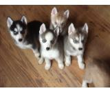 Outstanding Siberian Husky Puppies Now Ready