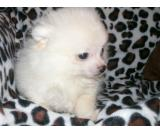 Gorgeous Little Lemon and white party pomeranian