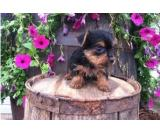 Male and female teacup yorkie available