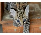 Cheetah cubs , savannah kittens and servals available
