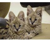 African Serval and F1 Savannah kittens now available
