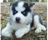 Adorable Blue Eyed Siberian Husky Puppies For Sale