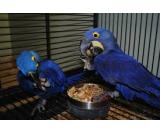 Hyacith Macaw   Parrots for sale- Various Species Available-Tamed, Healthy, Hand Raised: