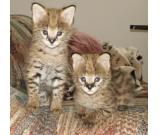 Cheetah cubs  , Ocelots , Serval and Savannah kittens available .