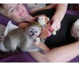 lovely baby capuchin monkeys ready for new loving homes