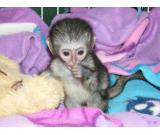 HOME RAISED Capuchin Monkeys Available