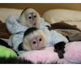 Healthy monkeys currently available