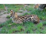 serval ,caracal,ocelot , asian Leopard and Savannah kittens for sale.