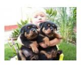 Rottweiler Puppies For Sale.contact :(anabellamikel@gmail.com)