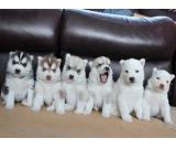 Companion Siberian Husky Puppies Available