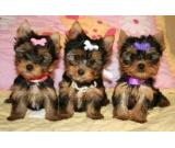 Two Adorable AKC Teacup Yorkie puppies for sale and for Adoption Text (443) 266-6586