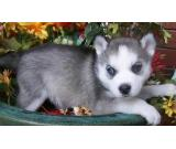 cute siberian husky puppy available to go asap !!!