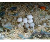 Candle Tested Fertile parrot eggs,birds and parrots for sale ( Good prices)