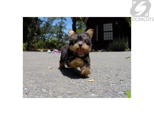 Male and Female TeaCup Yorkie Puppies San Diego - Free