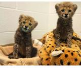 Outstanding Cheetah Cubs and Other Exotics For Sale