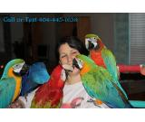 Adorable macaw parrots for xmas .