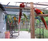 Macaws  Pets Pure Breeds  for sale