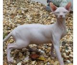 adorable sphynx cats and kittens for adoption