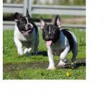 Beatiful French Bulldog Puppies for Rehoming