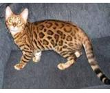 Golden Bengal Kitten Available