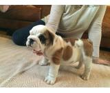 Gorgeous English Bulldog TEXT/CALL(469) 253-8776
