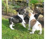 Quality French Bulldogs 3 Girls Left text or call us at (210) 239-1062