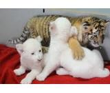 WELL TAMED BABY TIGER CUBS AND CHEETAHS FOR SALE