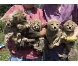 Healthy Cheetah Cubs , Tiger Cubs , Lion Cubs ,