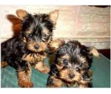 Adorable Teacup Yorkie Puppies for Free home adoption Call (703) 249-6195