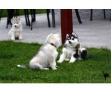 Playfull Husky puppies available for new homes , contact (501) 492-9878